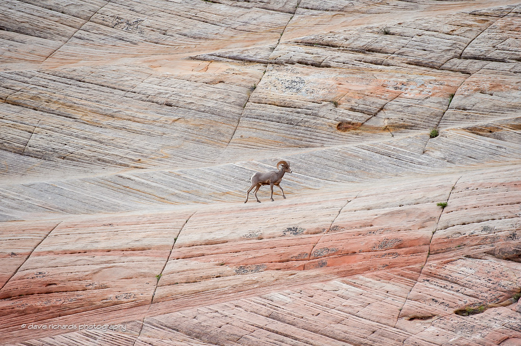 Lone Bighorn Sheep in Zion National Park, Stage 1, 2016 Tour of Utah