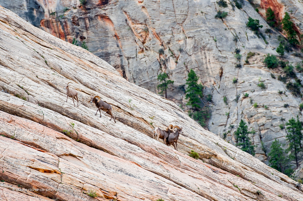 Bighorn Sheep scramble up the roock formations  in Zion National Park, Stage 1, 2016 Tour of Utah