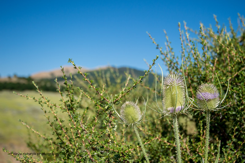 Waiting for the riders, I find myself studying the local flora.on Stage 2, BrighamCity-SnowBasin,  2017 LHM Tour of Utah (Photo by Dave Richards, daverphoto.com)