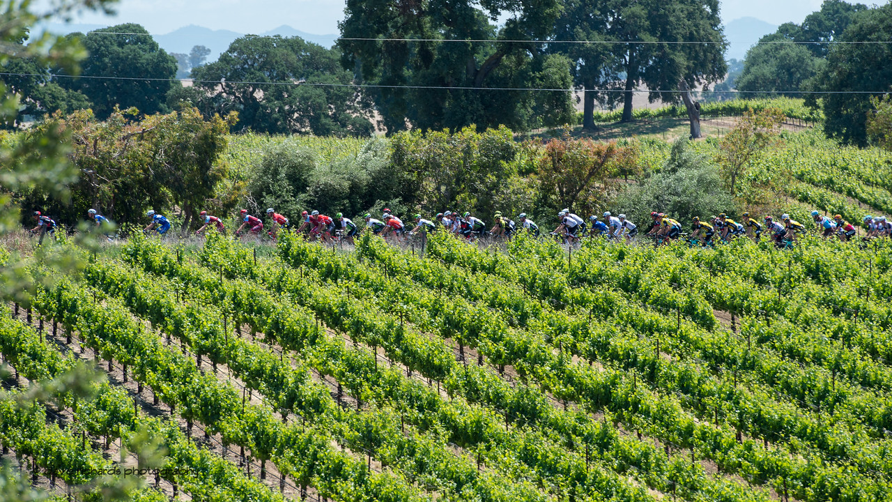 The peloton hides among the grapevines. Men's Stage Five, Stockton to Elk Grove, 2018 Amgen Tour of California cycling race (Photo by Dave Richards, daverphoto.com)