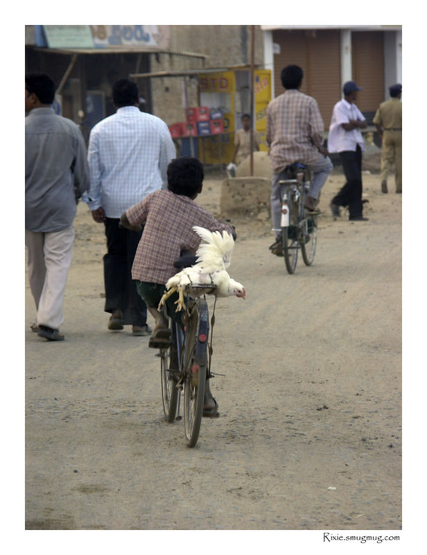 How to transport a live chicken with a too big bicycle