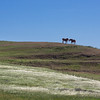 Two horses deal with the wind along an English Hills ridge line north of Vacaville.