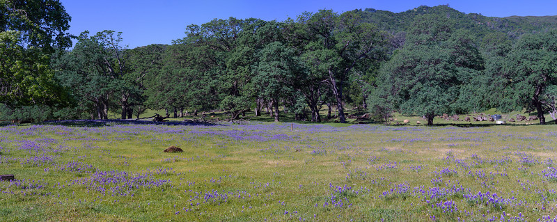 A field of lupin and oaks along Pleasants Valley Road.