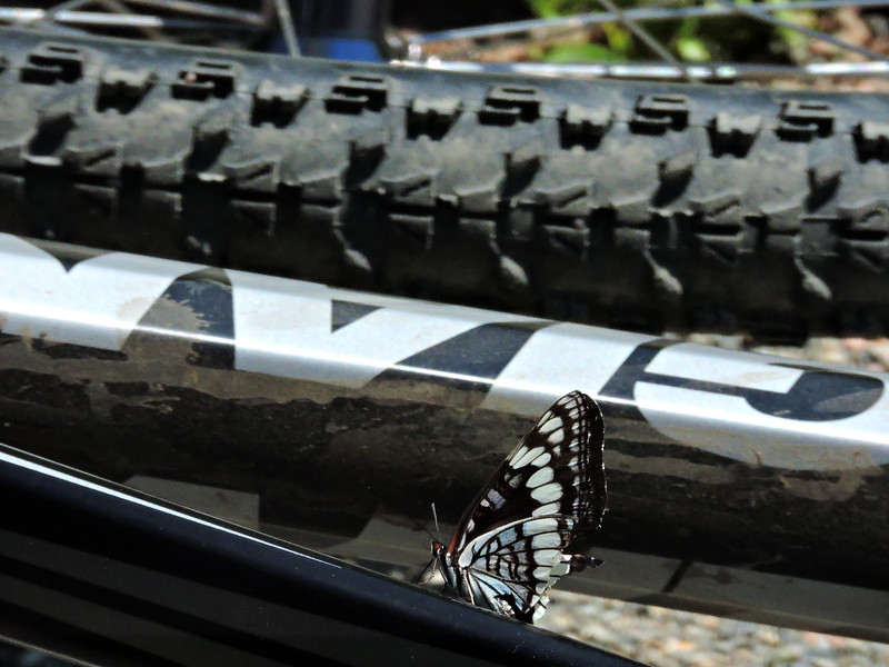 Lizard's Bike Attracts a Matching Butterfly