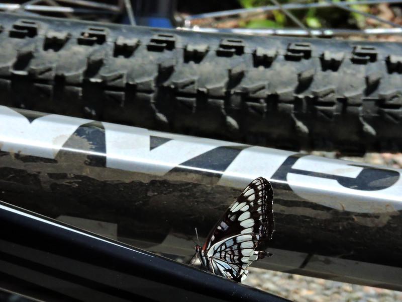 Lizard's Bike Attracts a Matching Butterfly
