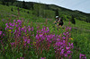 Mountain Biking near Crested Butte<br /> Fireweed on Schofield Pass