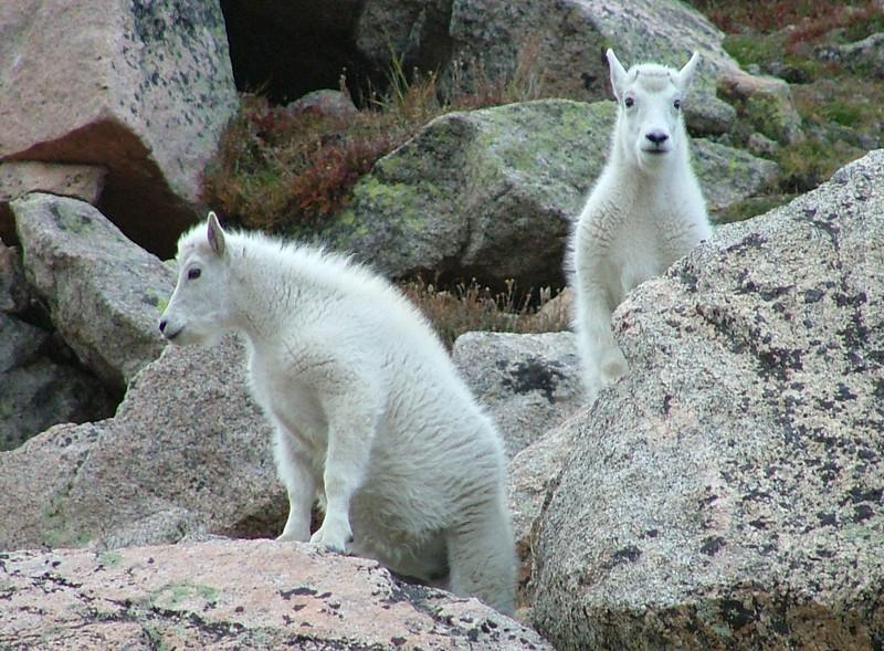 Twin mountain goats atop Mount Evans