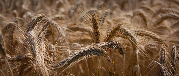 vele graanvelden in Twente en Duitsland