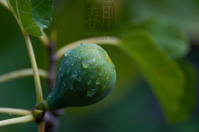 Ripening 'Peter's Honey' Fig