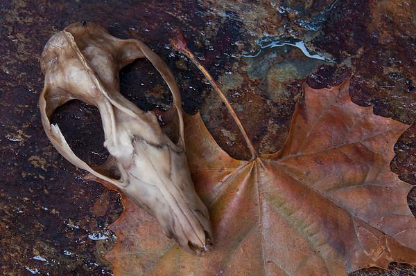 Possum Skull and Autumn Tulip Poplar Tree Leaf
