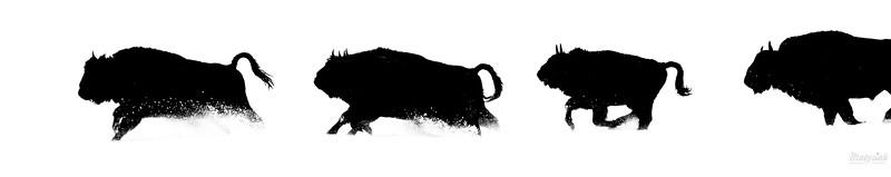 Biegnące żubry (Bison bonasus) Bieszczady ©Mateusz Matysiak