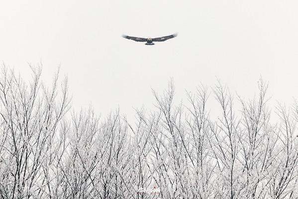Młodociany orzeł przedni (Aquila chrysaetos) patrolujący zarośla na skraju lasu Bieszczady ©Mateusz Matysiak