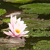 lotos.jpg