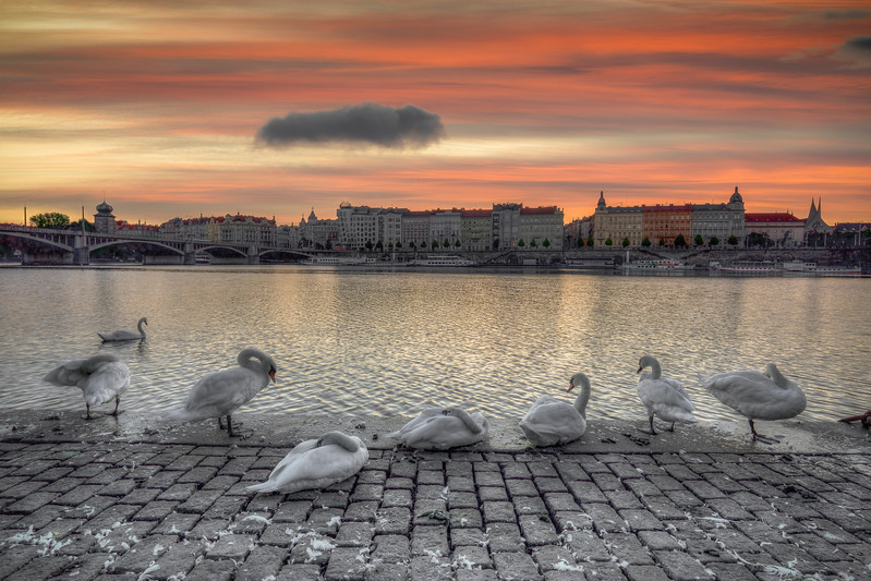 Swans Along the Vltava River, Prauge