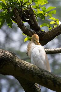 Volavka rusohlavá