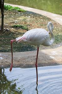 Plameňák růžový