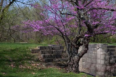 Spring Redbud Tree blooms