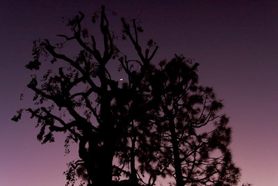 February 7 - Moon through recently trimmed trees at dusk.