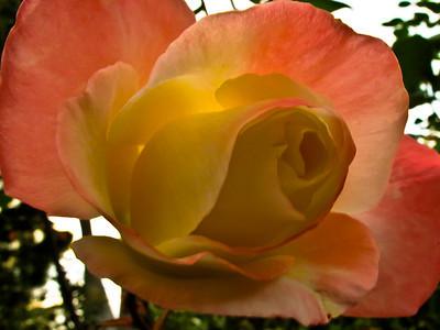 January 8 - Rose