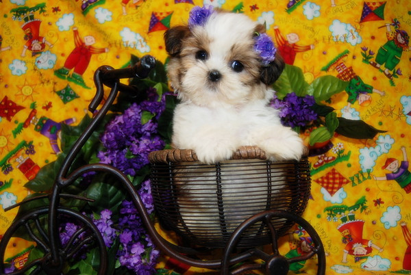 6. DAISY PUPPIES Photo and Video Galleries