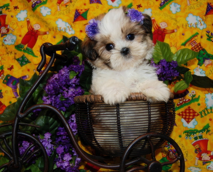 PUPPY NUMBER: # 573<br /> <br /> Sold to: ( Kris G. )<br /> Date Sold: July 2007<br /> From: Lewisville, TX<br /> BREED: Daisey<br /> SEX: Female<br /> SIZE: Tiny Teacup<br /> D.O.B: 04-10-2007<br /> COLOR: Party Color<br /> <br /> Starting Price was: $2875.00<br /> Final Price Paid: $1575.00<br /> Sales Representative: Jan<br /> <br /> <br /> Click the ( BUY THIS PHOTO ) icon under photo to purchase this puppy picture.<br /> Photos are available in wallets, 8 X 10, 5 x 7, on key chains, mouse pads, back packs, coffee mugs and T-Shirts and more.<br /> <br /> This Photo is copy right protected by:<br /> Teacup And Toy Pets