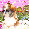 """PUPPY NUMBER # 2004<br /> My New Owners Name: Lynn M. <br /> Date Sold : 8/09<br /> FROM: Henderson TX<br /> BREED: Daisy<br /> SEX: female<br /> COLOR: brown & white<br /> DATE OF BIRTH: 5/8/09<br /> Pet Boutique Sales Representative: Rebecca Bice<br /> <br /> Customer Comments:<br /> <br /> If you purchase a puppy in this photo gallery and would like for us to add your puppy's name and comments to the puppy you have purchased. <br /> Send an e-mail with your full name, puppy's name and puppy number to us along with any comments you would like to add to your puppies photo.<br /> You may also send photos of your family members with or without puppy and we will add it to your puppy's photo gallery. <br /> <br /> ==== ( TeacupPets@TexasTeacups.com ) ====<br /> <br /> This Photo is copyright protected by <a href=""""http://www.TexasTeacups.com"""">http://www.TexasTeacups.com</a>"""