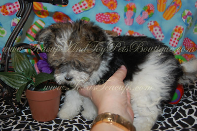 SOLD Malshi Puppy # 2568 - TexasTeacups