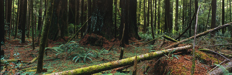 USA. Crescent City. 1990. The Redwood National and State Park. It is one of the few remaining places where ancient redwoods are able to survive.