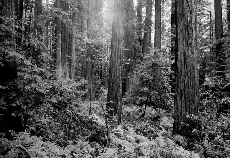 USA. California. California redwoods threatned with deforestation by the Pacific Lumber Co. Clearcutting in the area has caused mudslides and threatened the salmon population. 1998.