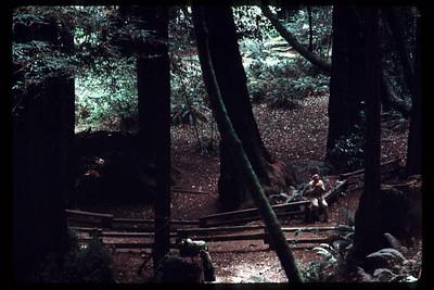 USA, CALIFORNIA, 1975 Lone figure in woods at Muir Park