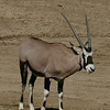 Endangered Antelope