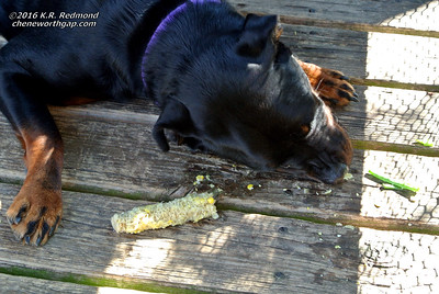 Roxie Anne and Her Corn on the Cob