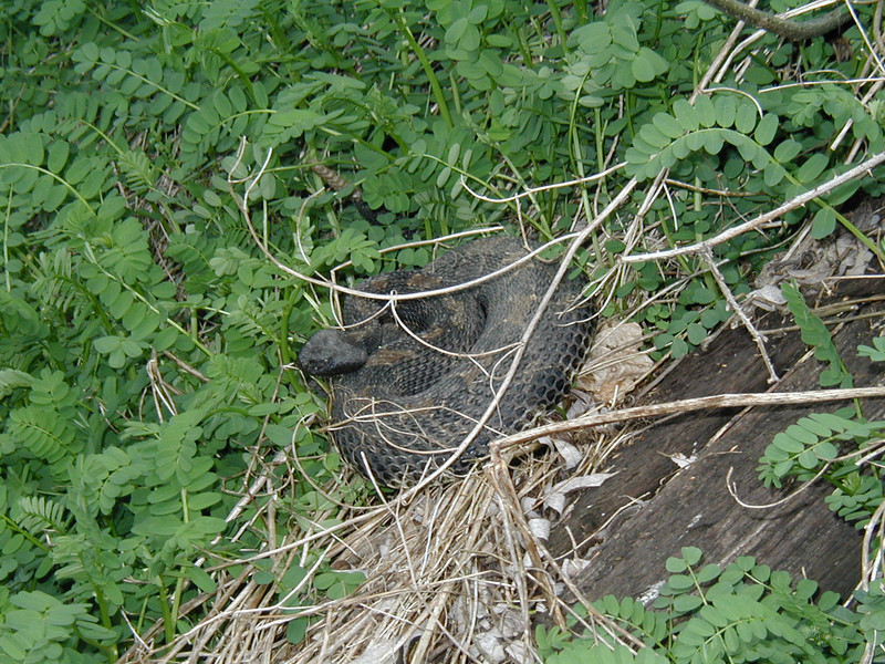 The rattlesnake that Buck and Joe almost stepped on