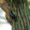 yellow bellied sapsucker