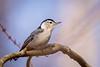 Meadowlark-0429