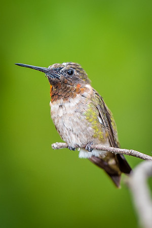 Hummers-5490