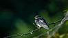 Meadowlark-4471