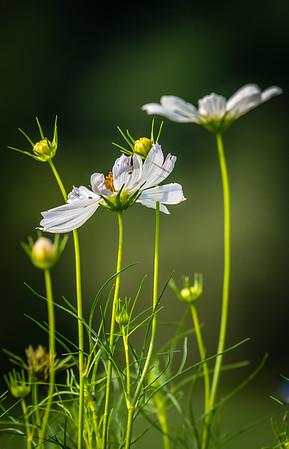 Meadowlark-9967