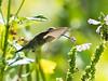 Meadowlark-8021
