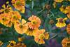 Meadowlark-7594-Edit