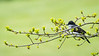 Meadowlark-0305