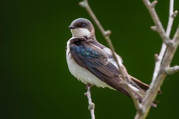 Meadowlark-5986