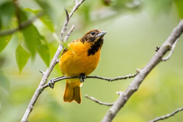 Meadowlark-6161
