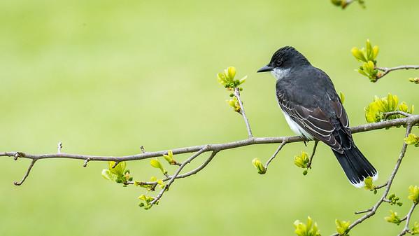 Meadowlark-0307