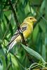 Meadowlark-0649