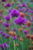 Meadowlark-0888