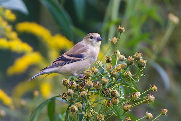 Meadowlark-8189