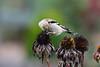 Meadowlark-0085