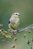 Meadowlark-8095