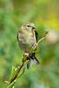 Meadowlark-8587